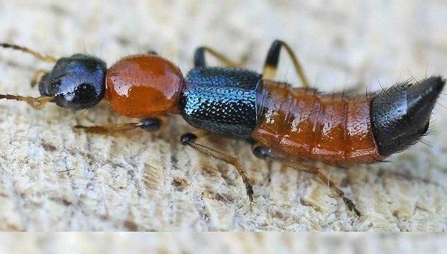 Xử trí và phòng ngừa viêm da tiếp xúc do kiến ba khoang